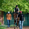 2012 Kentucky Derby winner I'll Have Another is lead from the track after his morning work at Pimilico Race Course in Baltimore, MD May 16, 2012.  He will enter Saturday's Preakness Stakes where he will contest the second jewel of Thoroughbred racing's Triple Crown.<br /> Photo by Skip Dickstein