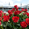 Roses on the infield of Churchill Downs on Derby Day May 5, 2012.  Photo by Skip Dickstein.