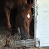 I'll Have Another plays with a fan the morning after winning the Kentucky Derby<br /> © 2012 Rick Samuels/The Blood-Horse