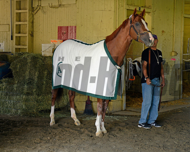 Caption: California Chrome<br /> Belmont and undercard works on June 2, 2014, at Belmont Park in Elmont, N.Y.<br /> MonOrigs2   image686<br /> Photo by Anne M. Eberhardt
