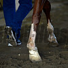 Caption: Chrome walking morning after with closeup of right front, nick near tendon and taped cut where clipped by Matterhorn.  Morning after in the Belmont barn area with Tonalist and California Chrome<br />  on June 8, 2014, at Belmont Park in Elmont, N.Y.<br /> MorningAfterBelmont image<br /> Photo by Anne M. Eberhardt988