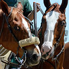 Talkin' horse talk. two ponies take a minute between races.<br /> Anne M. Eberhardt photo