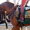 California Chrome at Belmont Park May 25.<br /> Coglianese Photos/Susie Raisher