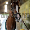 California Chrome at Belmont Park, May 22, 2014.<br /> Coglianese Photos/Chelsea Durand