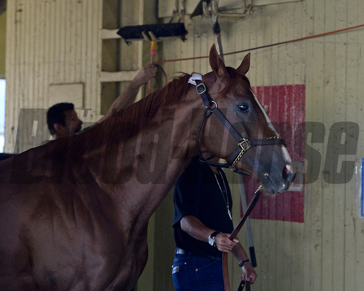 Caption: Walking shedrow CC.<br /> Morning after in the Belmont barn area with Tonalist and California Chrome<br />  on June 8, 2014, at Belmont Park in Elmont, N.Y.<br /> MorningAfterBelmont image966<br /> Photo by Anne M. Eberhardt