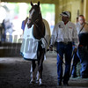 California Chrome<br /> Belmont Park,, May 31, 2014<br /> Coglianese Photos/Chelsea Durand