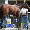 American Pharoah at Belmont Park June 3, 2015.<br /> Coglianese Photos/Susie Raisher