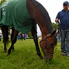 2016 Kentucky Derby winner Nyquist grabs a little snack of grass as he meets the public and the media the day after the Derby in the barn area of Churchill Downs May 8, 2016 in Louisville, KY Photo by Skip Dickstein