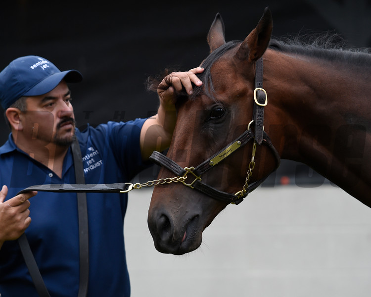 Groom Elias Anaya arranges 2016 Kentucky Derby winner Nyquist's forelock so he can meet the public the day after the Derby in the barn area of Churchill Downs May 8, 2016 in Louisville, KY Photo by Skip Dickstein