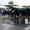 Nyquist gets a bath at Pimlico Race Course Thursday May 19, 2016.  Photo by Skip Dickstein