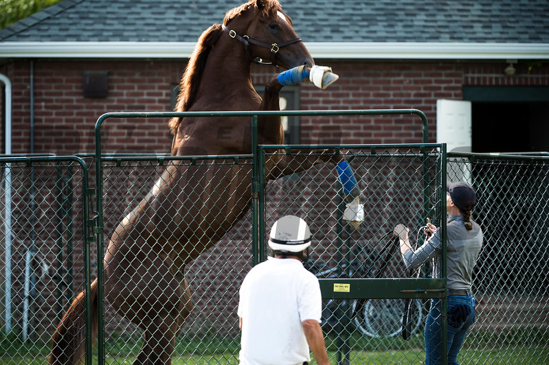 Irish War Cry plays in his round pen after his morning exercise before the Belmont Stakes June 8, 2017 at Belmont Park in Elmont, N.Y. Photo by Skip Dickstein