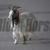 Roxanne, goat mascot on Churchill backstretch