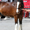 Clydesdale Pimlico Chad B. Harmon