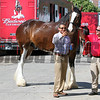 Clydesdale Selfie Pimlico Chad B. Harmon