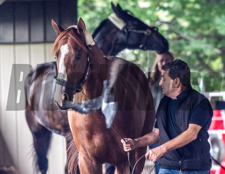 Justify unfazed by a pigeon after arriving from Louisville for his appearance in his attempt at a Triple Crown in Saturday's 150th Belmont Stakes Wednesday June 6, 2018 in Elmont, N.Y.  Photo by Skip Dickstein