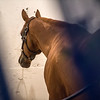 Kentucky Derby winner Justify relaxes in his stall in the Stakes Barn at Pimlico Race Course in preparation for Saturday's Preakness Stakes Thursday May 17, 2018 in Baltimore, MD.  Photo by Skip Dickstein