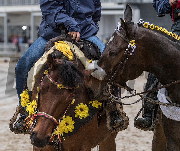 Two lead ponies have a moment on Preakness Day at Pimlico Race Course Saturday May 19, 2018.  Photo by Skip Dickstein