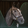 Tacitus settles into Churchill Downs