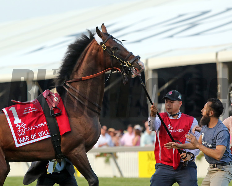 War of Will being saddled prior to winning the 144th Running of the Preakness Stakes at Pimlico on May 18, 2019. Photo By: Chad B. Harmon