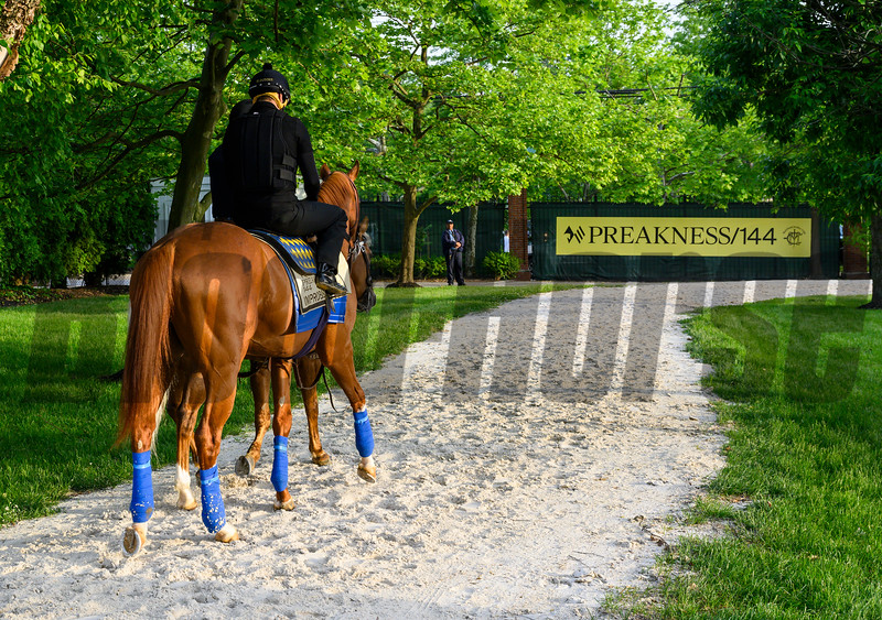 Improbable on his way to the track for a gallop at Pimlico Race Track in preparation for Saturday's Preakness Stakes Friday May 17, 2019 in Baltimore, MD.  Photo by Skip Dickstein