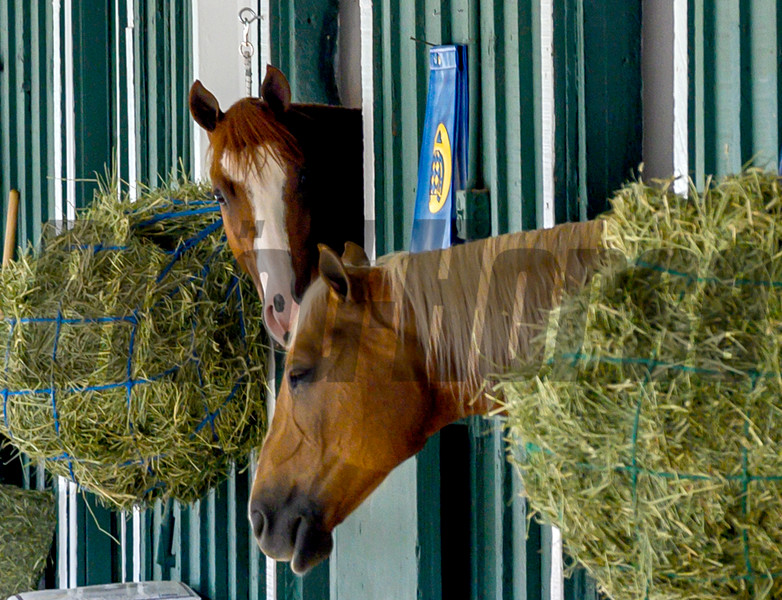 Improbable, left, looks from his stall at the Pimlico Race Track Wednesday May 15, 2019 in Baltimore, MD after arriving from Louisville.  Improbable will start as the 5-2 morning line favorite from the fourth position in the starting gate in Saturday's Preakness Stakes.  Photo by Skip Dickstein.