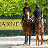 Improbable returns from his morning exercise at the Pimlico Race Course Thursday May 16, 2019 in Baltimore,MD.  Photo by Skip Dickstein
