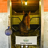 Belmont Stakes entrant Jungle Runner stands quietly in his stall in the Asmussen training barn on the Belmont Park grounds Friday june 19, 2020 in Elmont, N.Y, the day before the he is to run in the 152 Belmont Stakes at the historic Big Sandy.  Photo by Skip Dickstein