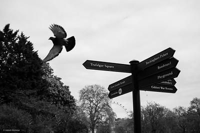 Pigeon wants to see Trafalgar Square