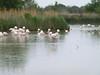 More flamingos in muck