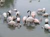Really mucky flamingos