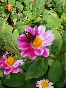 Villandry gardens -- butterfly and flower