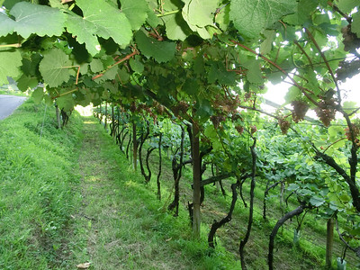 Vineyards on the walk from Hotel Eberle to Castello Roncallo