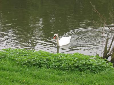 Swan at Moulin de Connelles