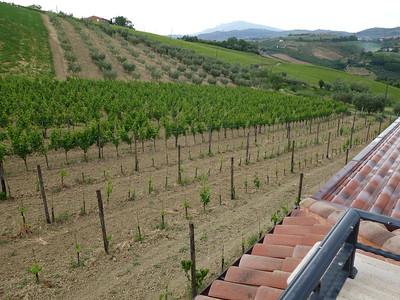 Grapes growing at Podere San Lazzaro