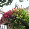 Alcazar, flowering bush