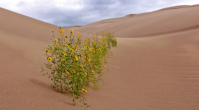 You ain't no daisy...Great Sand Dunes Nat. Pk., CO
