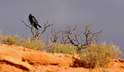 Brother Raven, Island in the Sky Dist., Canyonlands Nat. Pk. UT