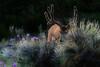Mule deer, Great Sand Dunes Nat. Pk., CO