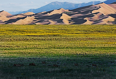 Mule deer grazing in the morning, Great Sand Dune Nat. Pk., CO