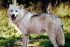 Gray Wolf on the Dalton Hwy., Alaska
