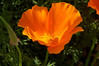 At Lacrover: California poppy