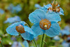 At Butchart: Blue poppies