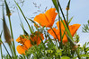At Lacrover: California poppies