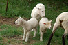 Shorn sheep and lambs