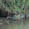 Black-crowned Night-heron, Grey Heron