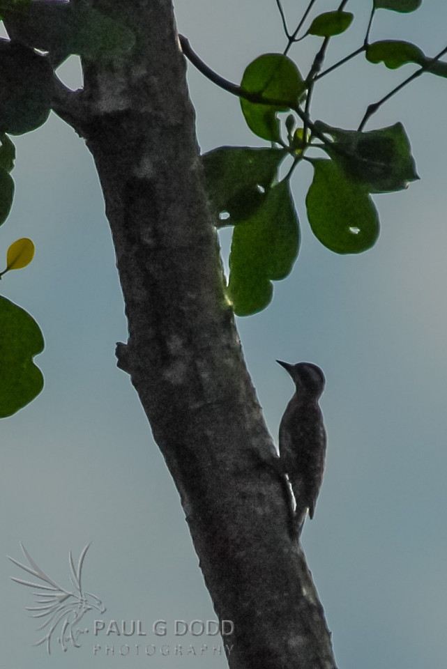 Brown-capped (Pygmy) Woodpecker