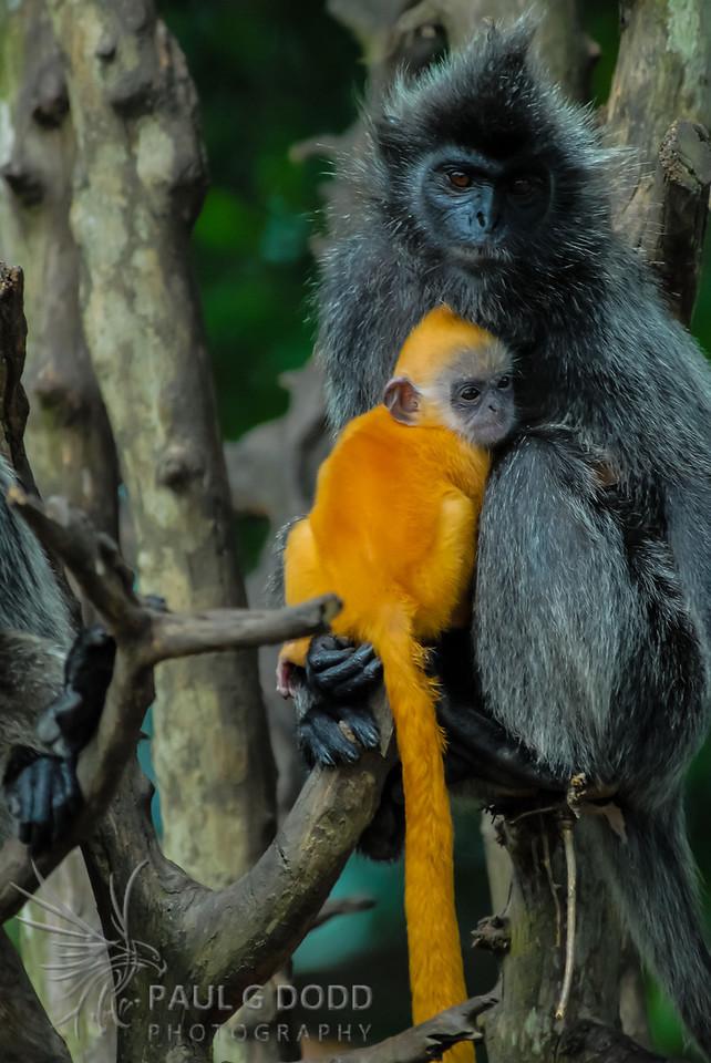 Silver Leaf-monkey (Silvery Lutung)