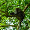 Long-tailed (Crab-eating) Macaque