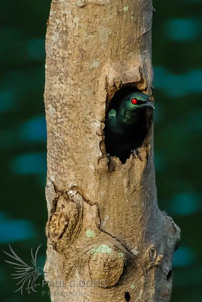 Asian Glossy Starling