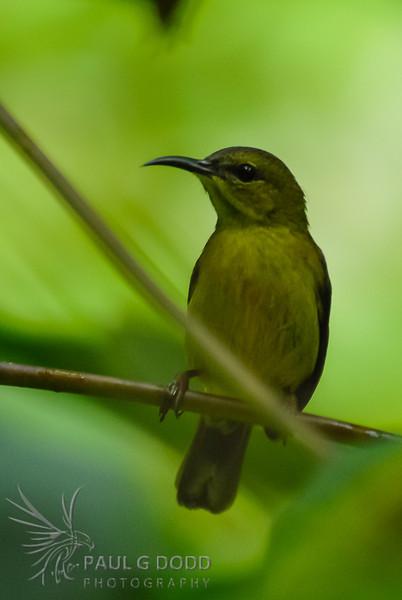 Olive-backed Sunbird (fem)